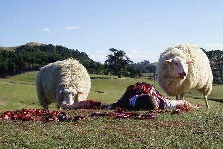Овца не приняла ягненка что делать
