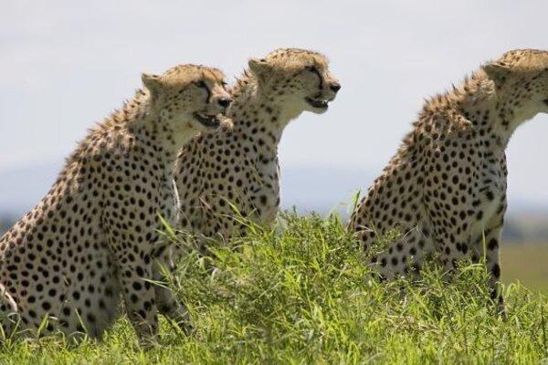 кадры и фото из фильма Африканские кошки: Королевство смелости